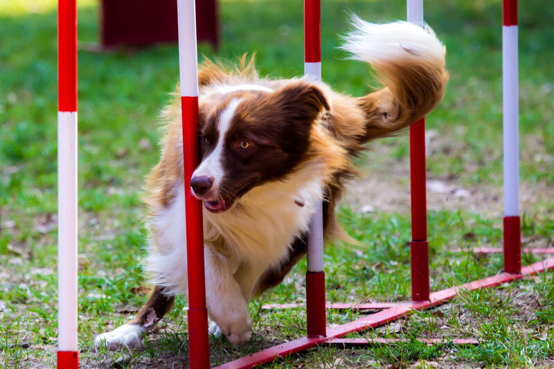 Agility training exercises for your dog. Image of a dog running through obstacles.